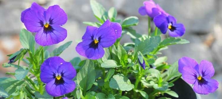 X Picy Conoce La Flor Comestible Viola